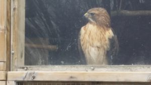 Rescued Red Tailed Hawk named Dakota by host site
